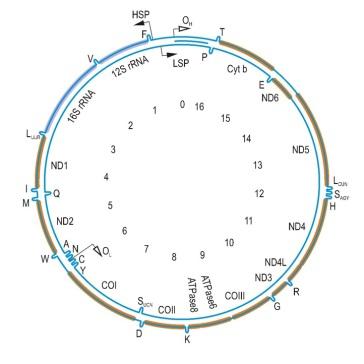human circular mitochondrial genome