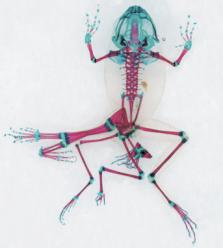 biotechnique frog