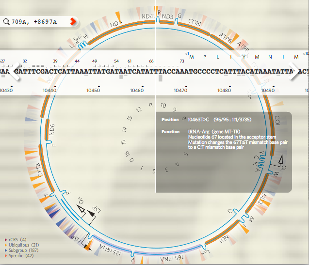 Visualize 23andMe haplogroup defining SNPs with Mitowheel